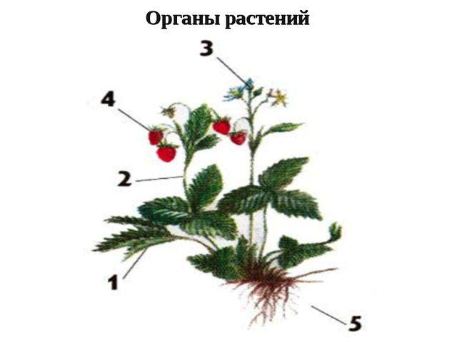 Органы растений