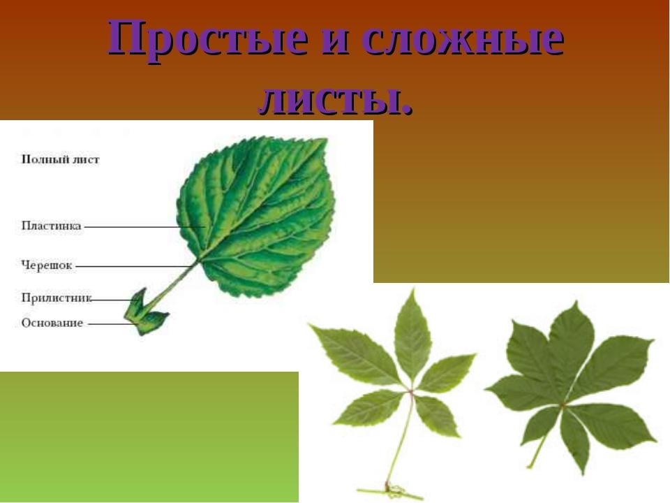 Простые и сложные листы.
