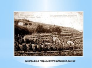 Виноградные террасы Витгенштейна в Каменке