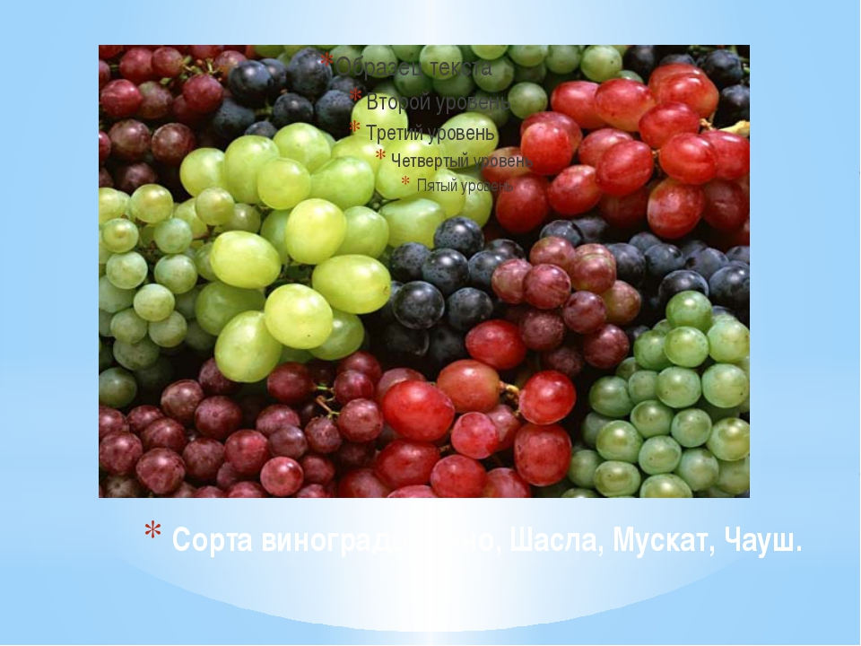 Сорта винограда: Пино, Шасла, Мускат, Чауш.