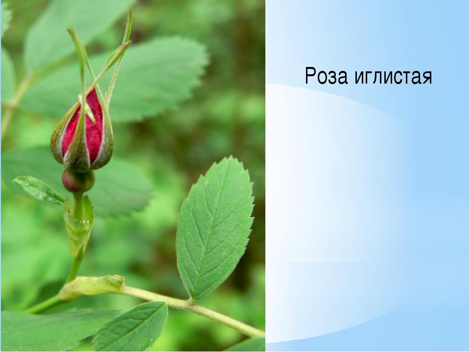 Роза иглистая
