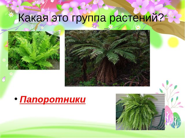 Какая это группа растений? Папоротники