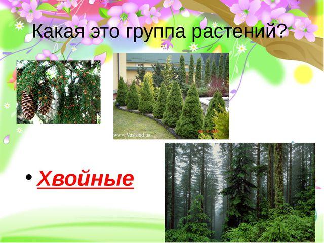 Какая это группа растений? Хвойные
