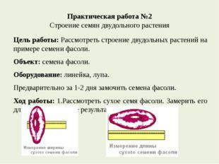 Практическая работа №2 Строение семян двудольного растения Цель работы: Рассм