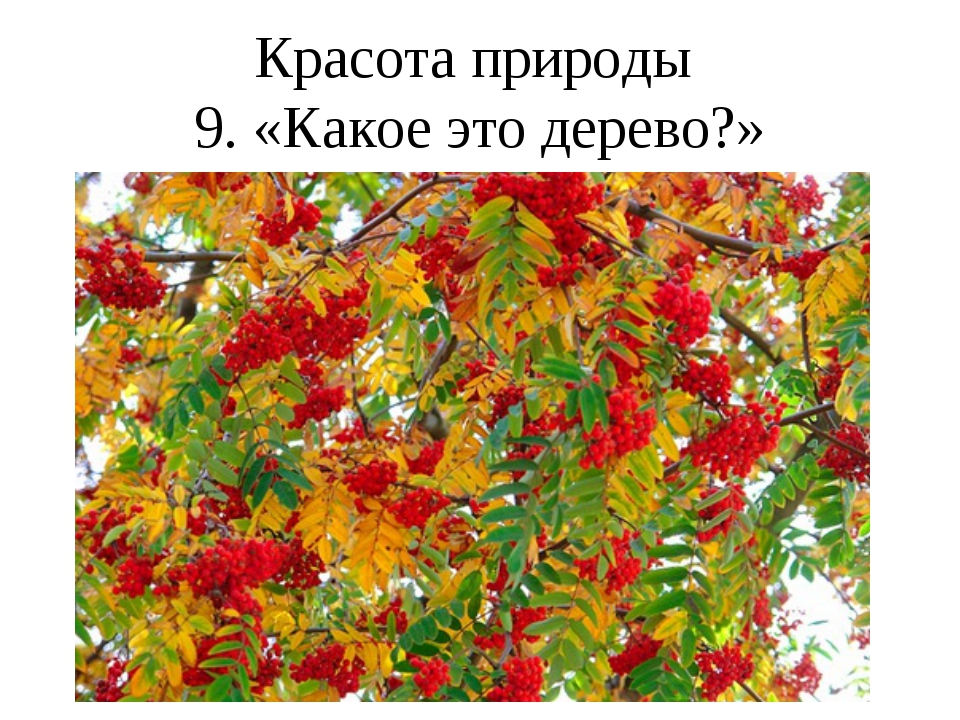 Красота природы 9. «Какое это дерево?»