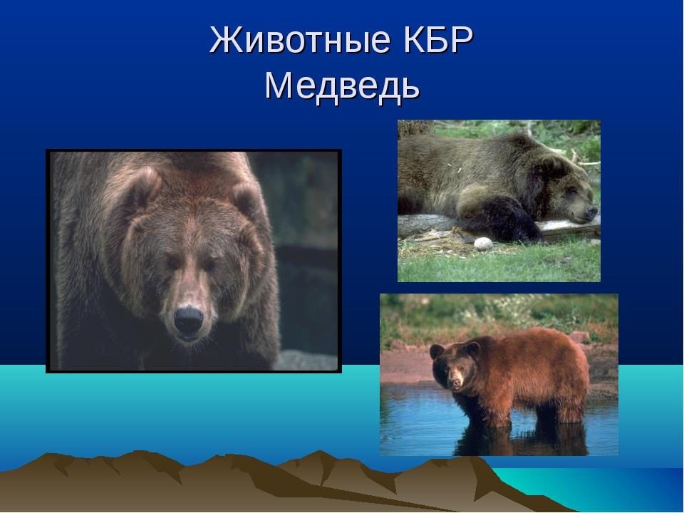 Животные КБР Медведь