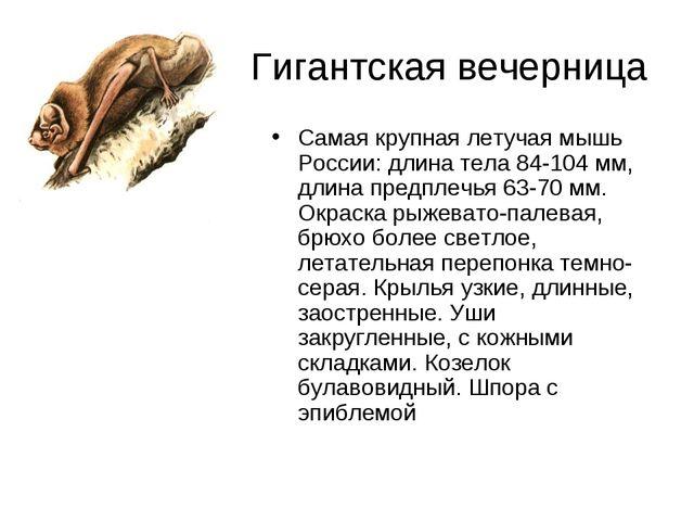 Гигантская вечерница Самая крупная летучая мышь России: длина тела 84-104 мм...