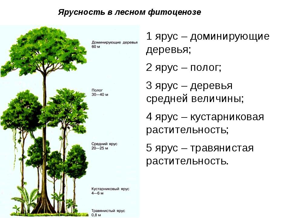 Ярусность в лесном фитоценозе 1 ярус – доминирующие деревья; 2 ярус – полог;...