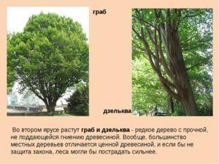 Во втором ярусе растут граб и дзельква - редкое дерево с прочной, не поддающ