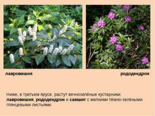 Ниже, в третьем ярусе, растут вечнозелёные кустарники: лавровишня, рододендро