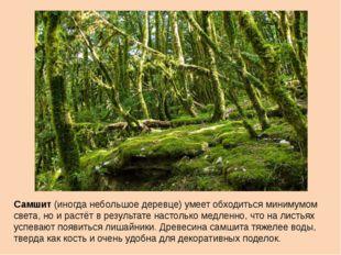 Самшит (иногда небольшое деревце) умеет обходиться минимумом света, но и раст