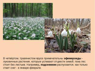 В четвёртом, травянистом ярусе примечательны эфемероиды - луковичные растения