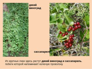 Из крупных лиан здесь растут дикий виноград и сассапариль, побеги которой нап