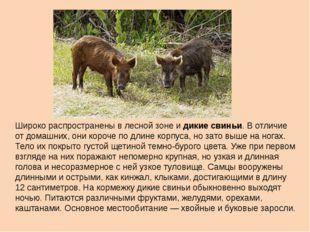 Широко распространены в лесной зоне и дикие свиньи. В отличие от домашних, он