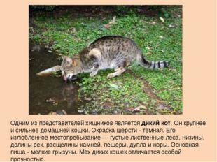 Одним из представителей хищников является дикий кот. Он крупнее и сильнее дом