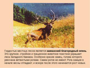 Гордостью местных лесов является кавказский благородный олень. Это крупное, с