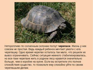 Неторопливо по солнечным склонам ползут черепахи. Жизнь у них совсем не прост