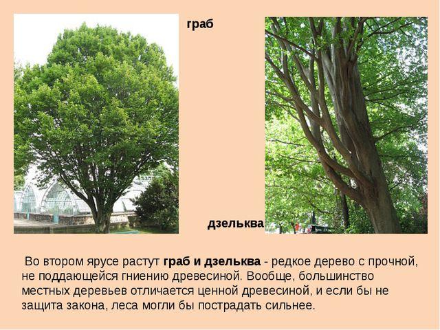 Во втором ярусе растут граб и дзельква - редкое дерево с прочной, не поддающ...
