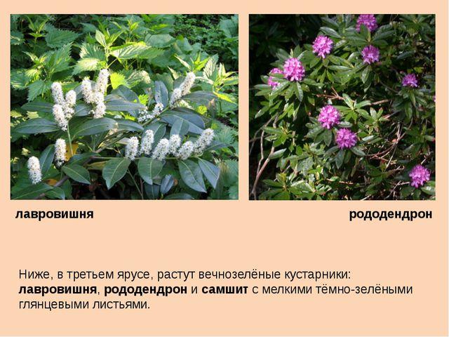 Ниже, в третьем ярусе, растут вечнозелёные кустарники: лавровишня, рододендро...