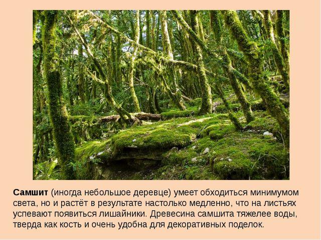 Самшит (иногда небольшое деревце) умеет обходиться минимумом света, но и раст...