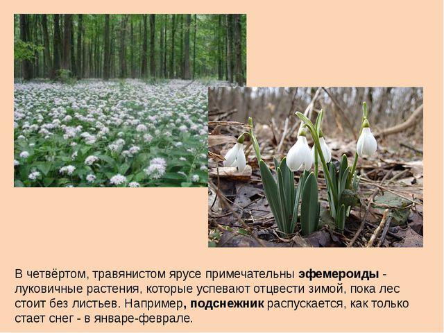 В четвёртом, травянистом ярусе примечательны эфемероиды - луковичные растения...