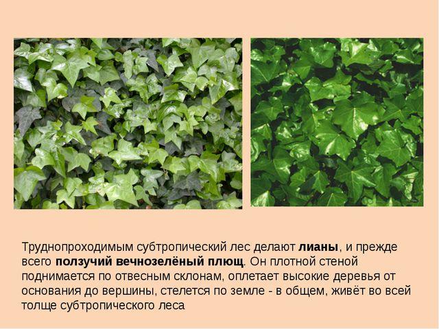 Труднопроходимым субтропический лес делают лианы, и прежде всего ползучий веч...