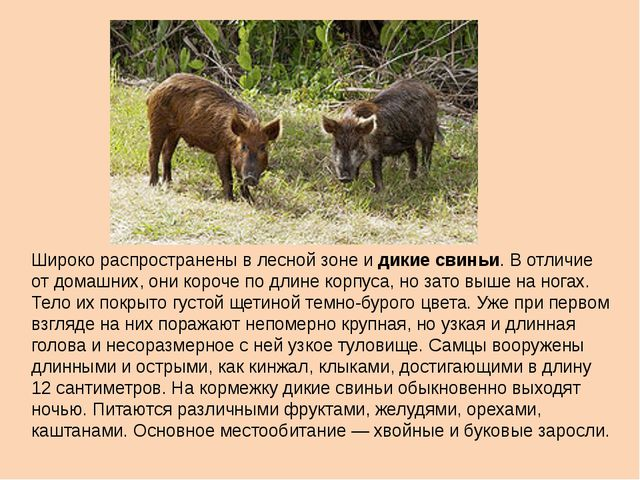 Широко распространены в лесной зоне и дикие свиньи. В отличие от домашних, он...