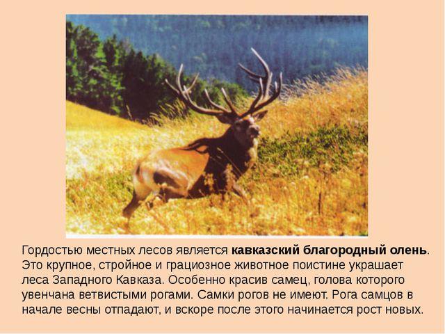 Гордостью местных лесов является кавказский благородный олень. Это крупное, с...