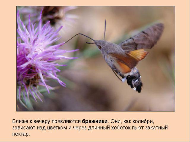 Ближе к вечеру появляются бражники. Они, как колибри, зависают над цветком и...