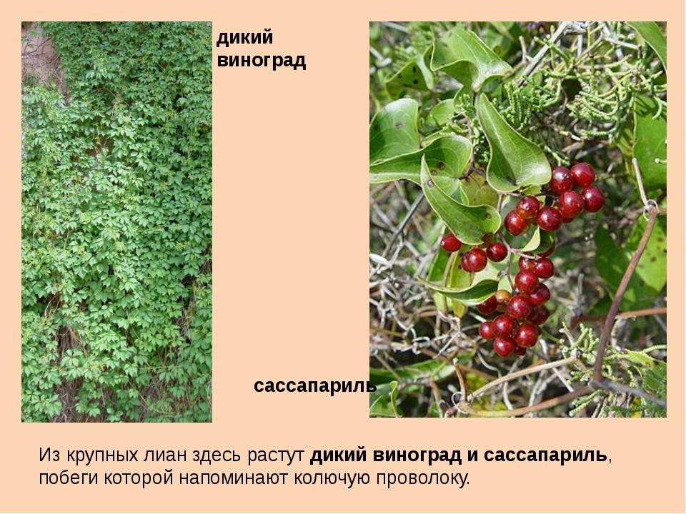 Из крупных лиан здесь растут дикий виноград и сассапариль, побеги которой нап...