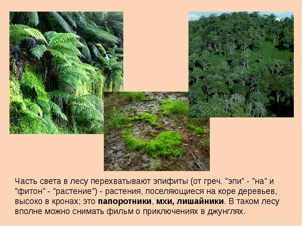 """Часть света в лесу перехватывают эпифиты (от греч. """"эпи"""" - """"на"""" и """"фитон"""" - """"..."""
