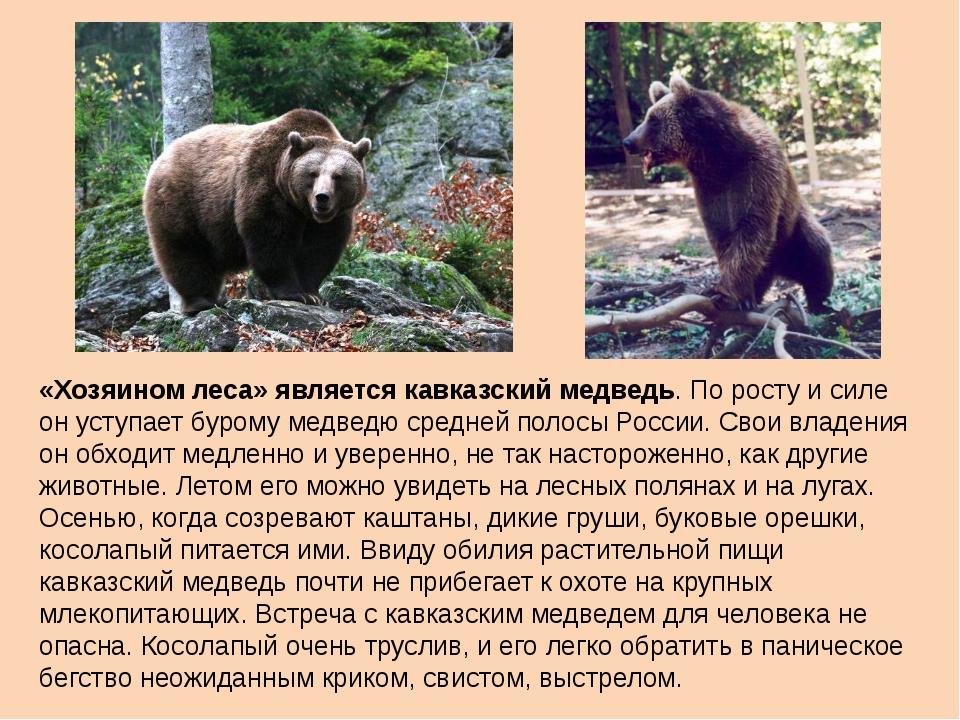 «Хозяином леса» является кавказский медведь. По росту и силе он уступает буро...
