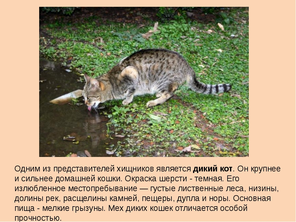 Одним из представителей хищников является дикий кот. Он крупнее и сильнее дом...
