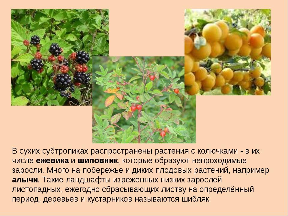 В сухих субтропиках pacпpocтpaнены растения с колючками - в их числе ежевика...