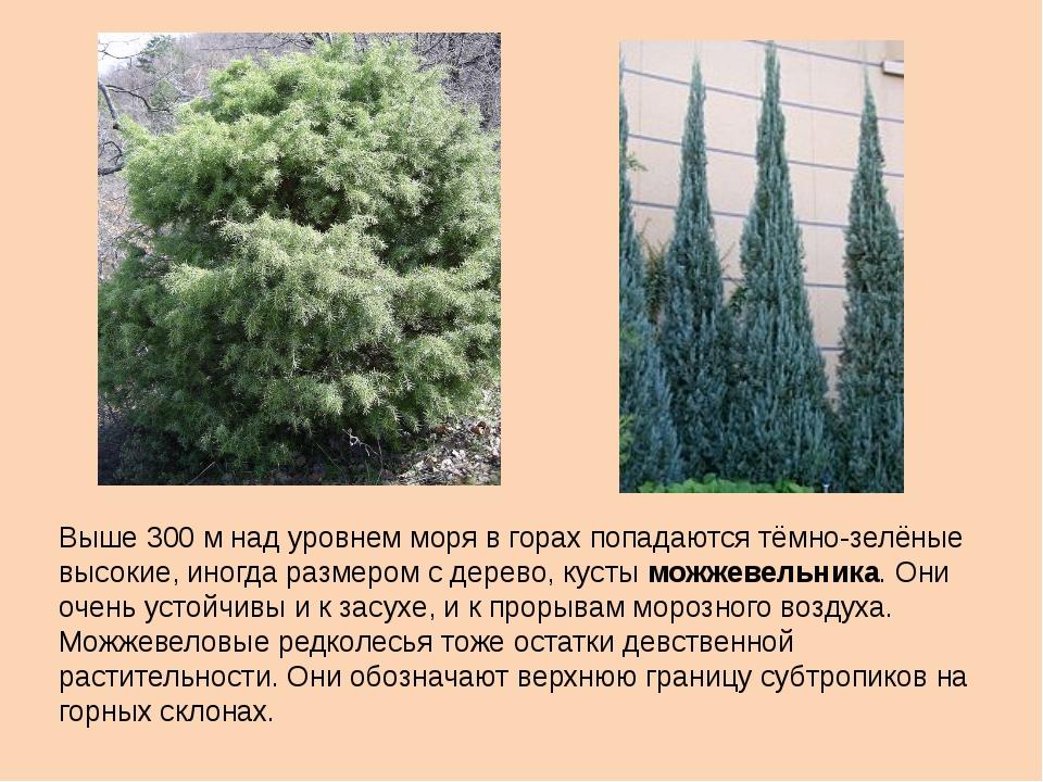 Выше 300 м над уровнем моря в горах попадаются тёмно-зелёные высокие, иногда...