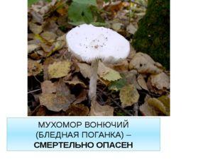 МУХОМОР ВОНЮЧИЙ (БЛЕДНАЯ ПОГАНКА) – СМЕРТЕЛЬНО ОПАСЕН