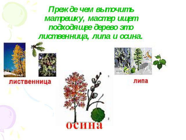 Прежде чем выточить матрешку, мастер ищет подходящее дерево это лиственница,...
