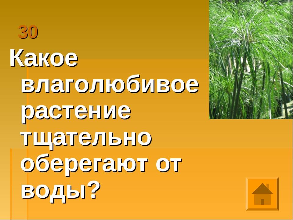 30 Какое влаголюбивое растение тщательно оберегают от воды?