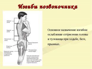 Изгибы позвоночника Основное назначение изгибов: ослабление сотрясения головы