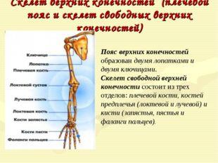Скелет верхних конечностей (плечевой пояс и скелет свободных верхних конечнос