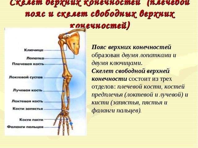 Скелет верхних конечностей (плечевой пояс и скелет свободных верхних конечнос...