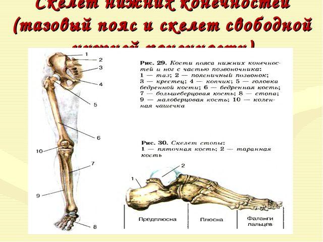 Скелет нижних конечностей (тазовый пояс и скелет свободной нижней конечности)
