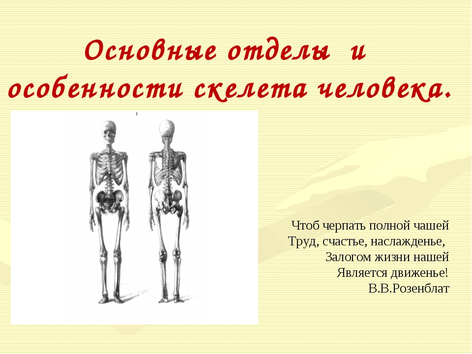 Основные отделы и особенности скелета человека. Чтоб черпать полной чашей Тру...