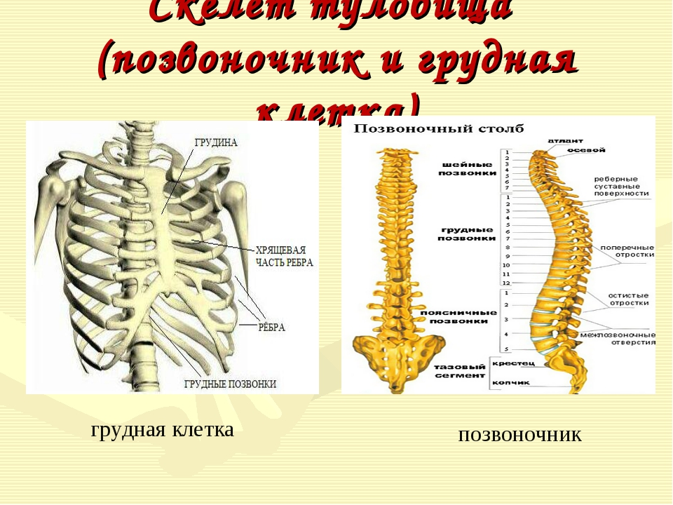 Скелет туловища (позвоночник и грудная клетка) грудная клетка позвоночник