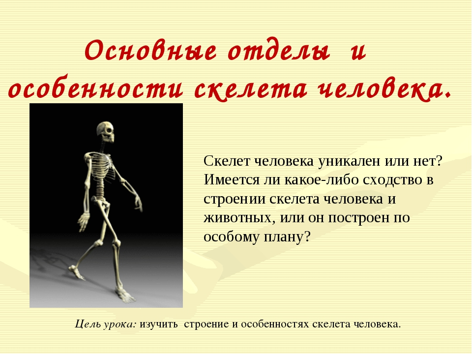 Основные отделы и особенности скелета человека. Скелет человека уникален или...