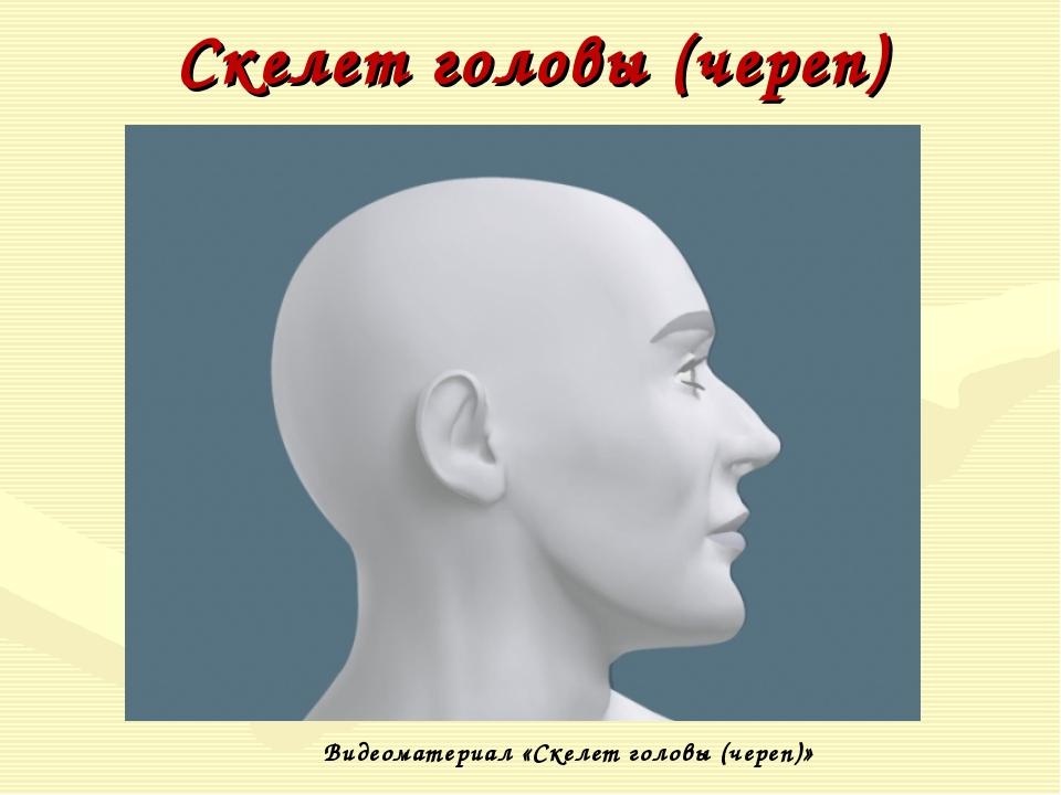 Скелет головы (череп) Видеоматериал «Скелет головы (череп)»