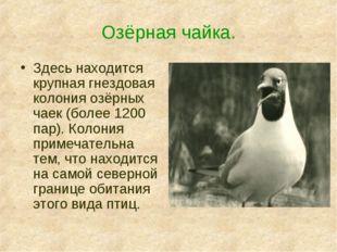 Озёрная чайка. Здесь находится крупная гнездовая колония озёрных чаек (более