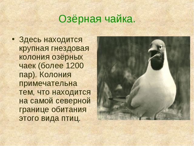 Озёрная чайка. Здесь находится крупная гнездовая колония озёрных чаек (более...