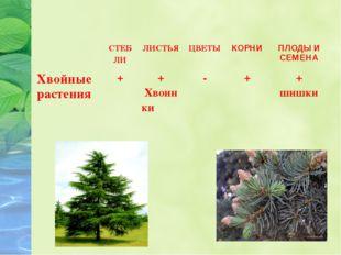 СТЕБ ЛИ ЛИСТЬЯ ЦВЕТЫ КОРНИ ПЛОДЫ И СЕМЕНА Хвойные растения + + Хвоин ки - +