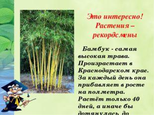 Это интересно! Растения – рекордсмены Бамбук - самая высокая трава. Произрас
